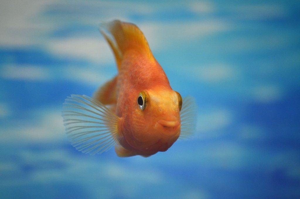 O que significa sonhar com peixe dourado?