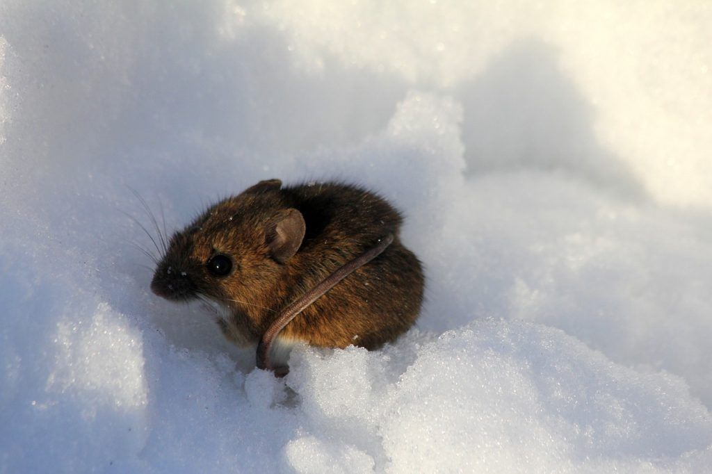 O que significa sonhar com rato pequeno?