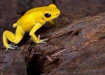 O que significa sonhar com sapo amarelo?