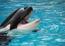 O que significa sonhar com baleia orca?
