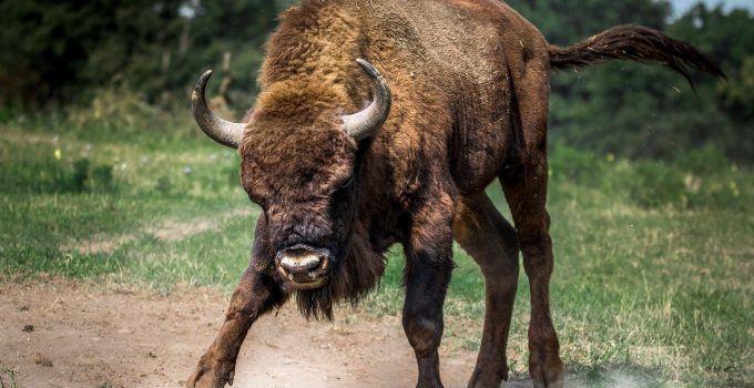 O que significa sonhar com touro bravo?