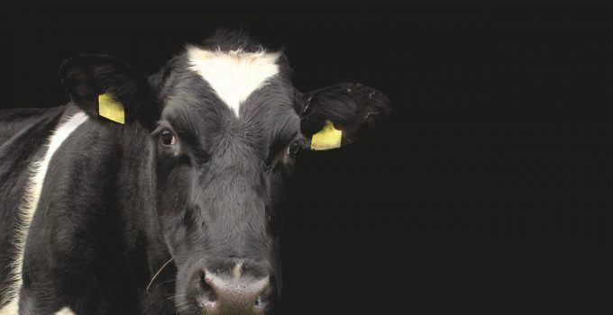 O que significa sonhar com vaca preta?