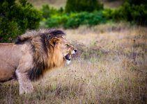 O que significa sonhar com leão atacando?