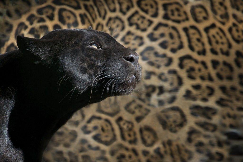 O que significa sonhar com tigre preto?