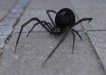 O que significa sonhar com aranha preta?