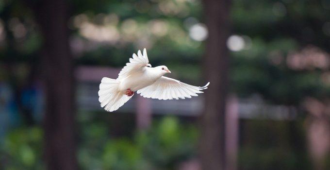O que significa sonhar com pomba branca?