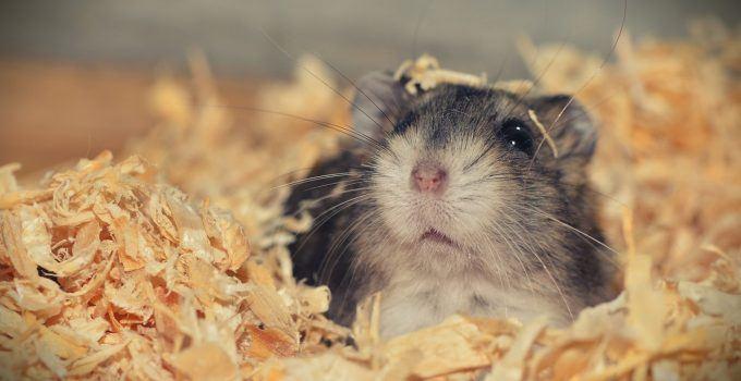 O que significa sonhar com hamster?