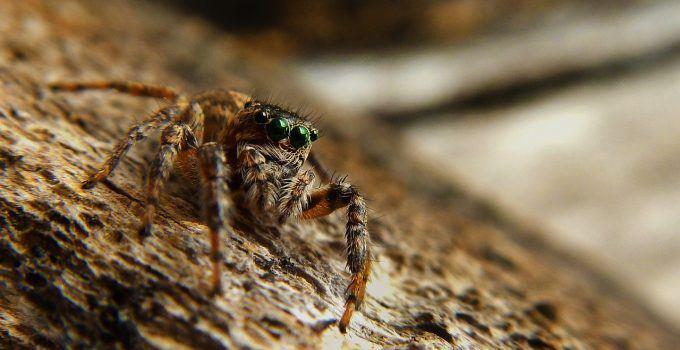 O que significa sonhar com aranha marrom?