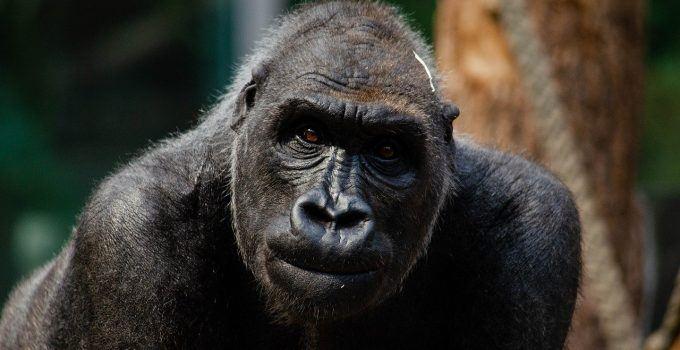 O que significa sonhar com gorila?