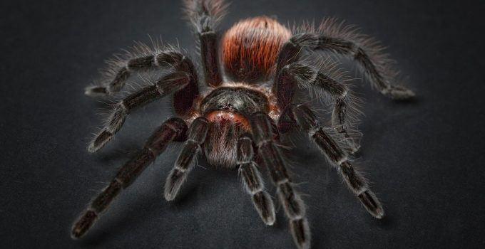 O que significa sonhar com aranha caranguejeira?