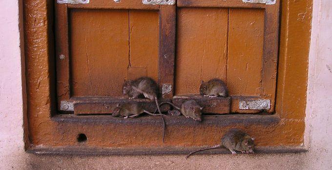 O que significa sonhar com muitos ratos?