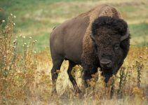O que significa sonhar com búfalo?